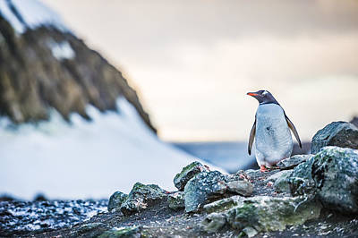 Gentoo Penguin On Barrientos Island - Antarctica Photograph Poster by Duane Miller