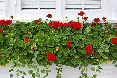 Geraniums On Window Poster