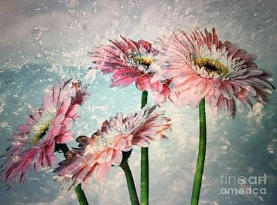 Gerbera Daisies With A Splash Poster