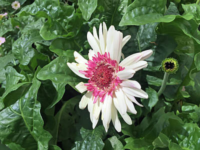 Gerbera Daisy And Bud Poster by Aimee L Maher Photography and Art Visit ALMGallerydotcom