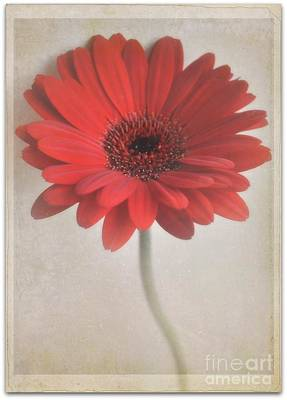 Poster featuring the photograph Gerbera Daisy by Lyn Randle