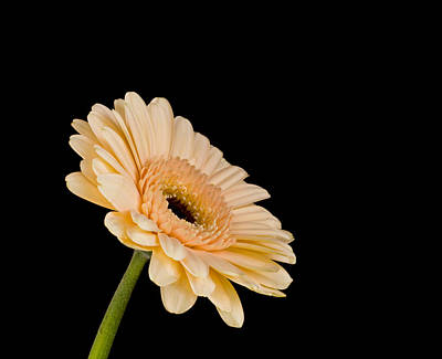 Gerbera Daisy On Black Poster by Clare Bambers