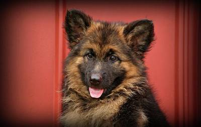 German Shepherd Puppy - Queena Poster by Sandy Keeton