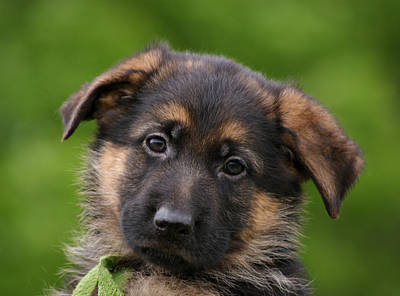 German Shepherd Puppy Close-up Poster by Sandy Keeton