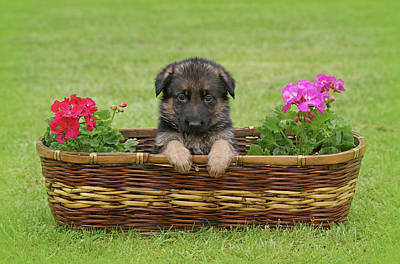German Shepherd Puppy In Basket Poster by Sandy Keeton