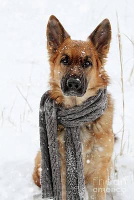 German Shepherd Wearing Scarf In Snow Poster