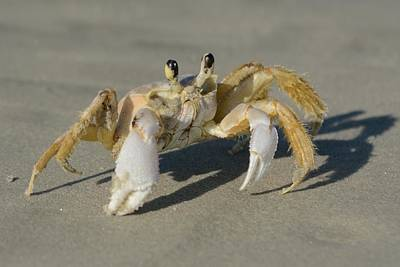 Poster featuring the photograph Ghost Crab by Bradford Martin