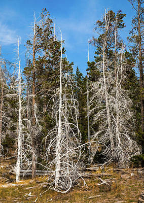 Poster featuring the photograph Ghost Pines At Yellowstone National Park by Lon Dittrick