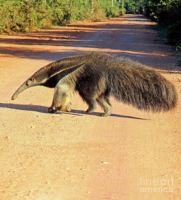 Giant Anteater Crosses The Transpantaneira Highway In Brazil Poster