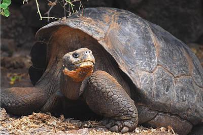Giant Galapagos Tortoise Poster by Alan Lenk