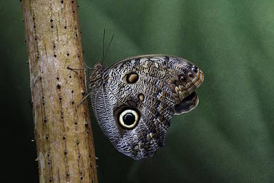 Giant Owl Butterfly On Screw Pine Poster