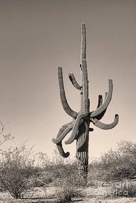 Giant Saguaro Cactus Sepia Image Poster