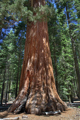 Giant Sequoia In Yosemite National Park Poster