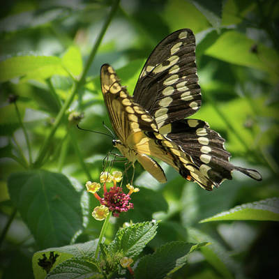 Giant Swallowtail On Lantana Poster