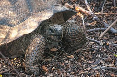 Giant Tortoise At Urbina Bay On Isabela Island  Galapagos Islands Poster