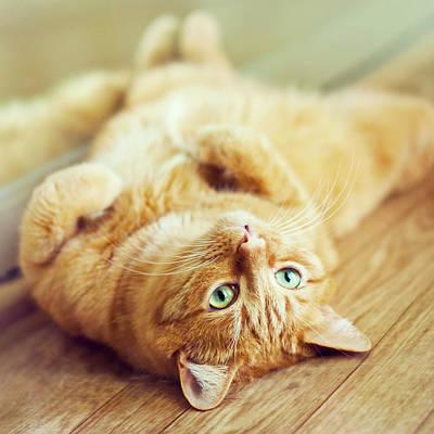 Ginger Lazy Cat Poster by Oksana Ariskina