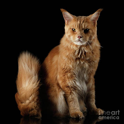Ginger Maine Coon Cat Isolated On Black Background Poster by Sergey Taran
