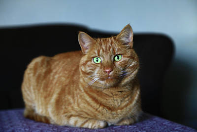 Poster featuring the photograph Ginger Marmalade Cat by Nareeta Martin