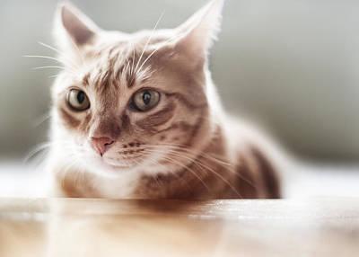Ginger Tabby Cat Poster