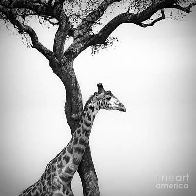 Giraffe And A Tree Poster by Konstantin Kalishko