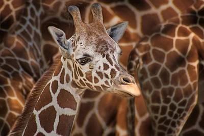 Giraffe - Camouflage Poster