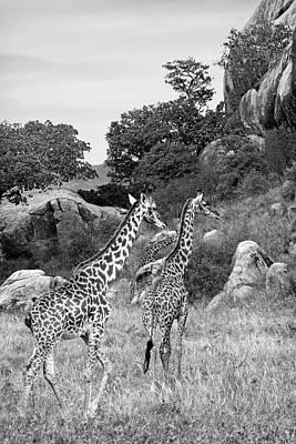 Giraffe Family In Africa In Black And White Poster