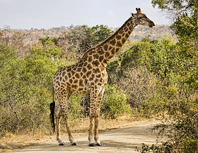 Giraffe Grazing Poster by Stephen Stookey
