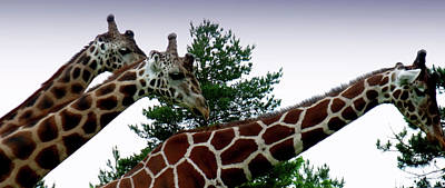 Poster featuring the photograph Giraffe by Jeremy Martinson