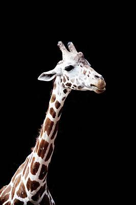 Giraffe Poster by Lauren Mancke