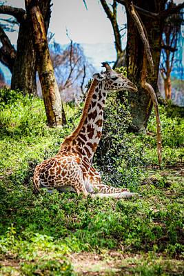 Giraffe Laying Down Poster