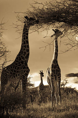 Giraffe Stretch Their Necks To Reach Poster