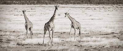 Giraffe Trio - Black And White Giraffe Photograph Poster