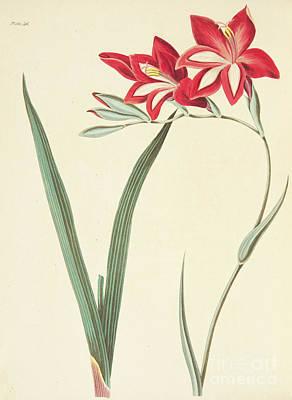 Gladiolus Cardinalis Poster