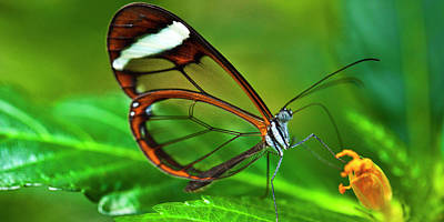 Poster featuring the photograph Glasswinged Butterfly by Ralph A Ledergerber