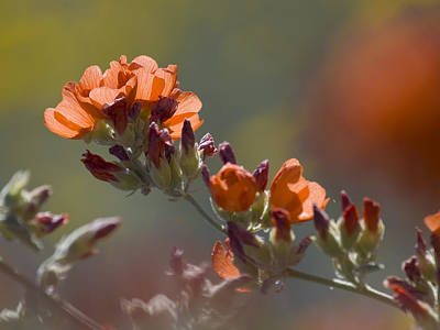 Globe Mallow Bloom Poster by Sue Cullumber