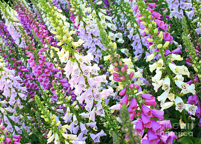 Glorious Foxgloves Poster by Carol Groenen