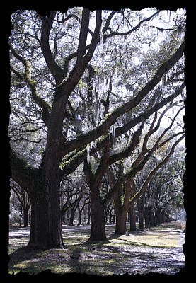 Glorious Live Oaks With Framing Poster by Carol Groenen