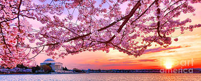 Glorious Sunset Over Cherry Tree At The Jefferson Memorial  Poster