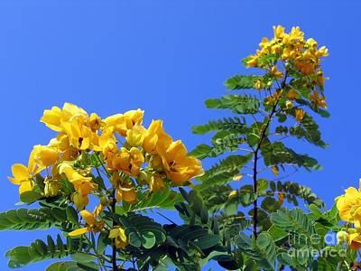 Glossy Shower Senna Tree Poster by Yali Shi