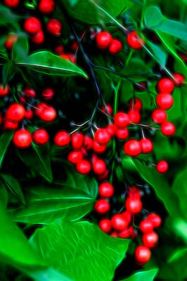 Glowing Pyracantha Berries Poster by Linda Phelps