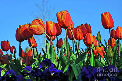 Glowing Tulips Against Blue Sky Poster by Kaye Menner
