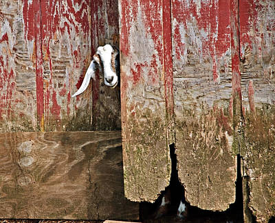 Goat And Old Barn Door Poster by Susan Leggett