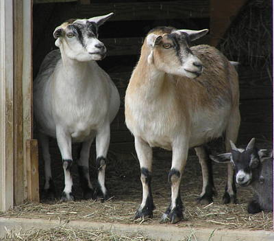 Goat Trio Poster by Jeanette Oberholtzer