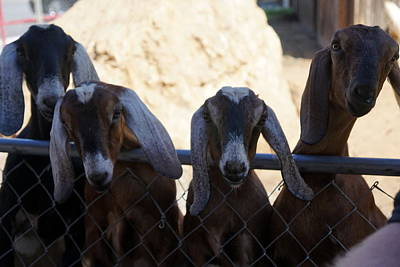 Goats On The Roof Poster by Laurie Perry