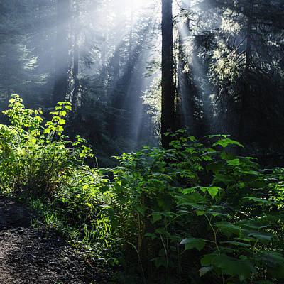 God Rays At Redwood National Park Poster by Vishwanath Bhat
