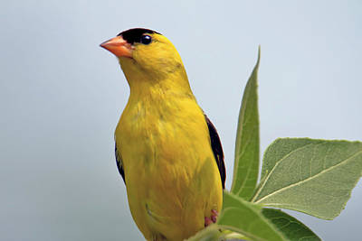 Gold Finch Close Up  Poster