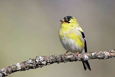 Gold Finch Poster