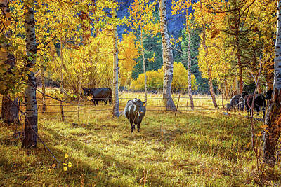 Golden Cow Pasture Poster
