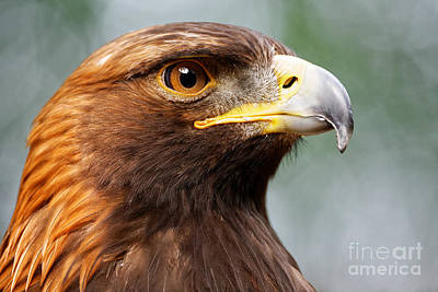 Golden Eagle Intensity Poster