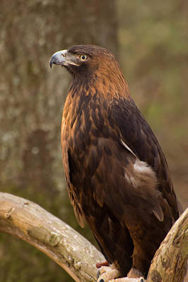 Golden Eagle Resting On A Branch Poster by Chris Flees